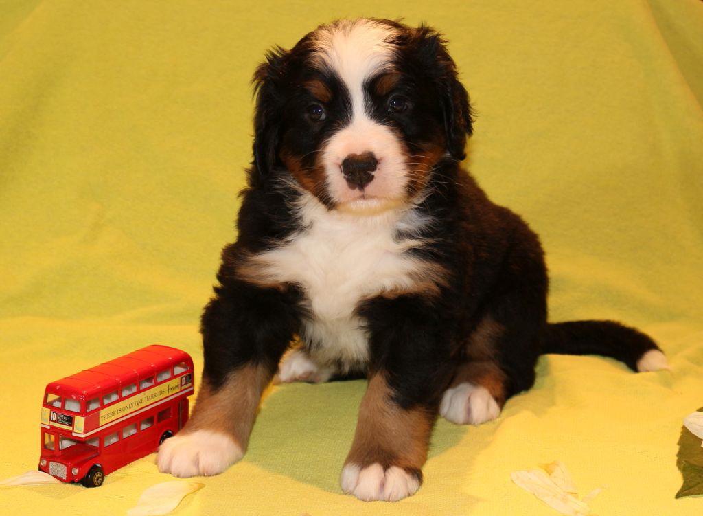Sam Berner Sennenhund 3 Wochen alt