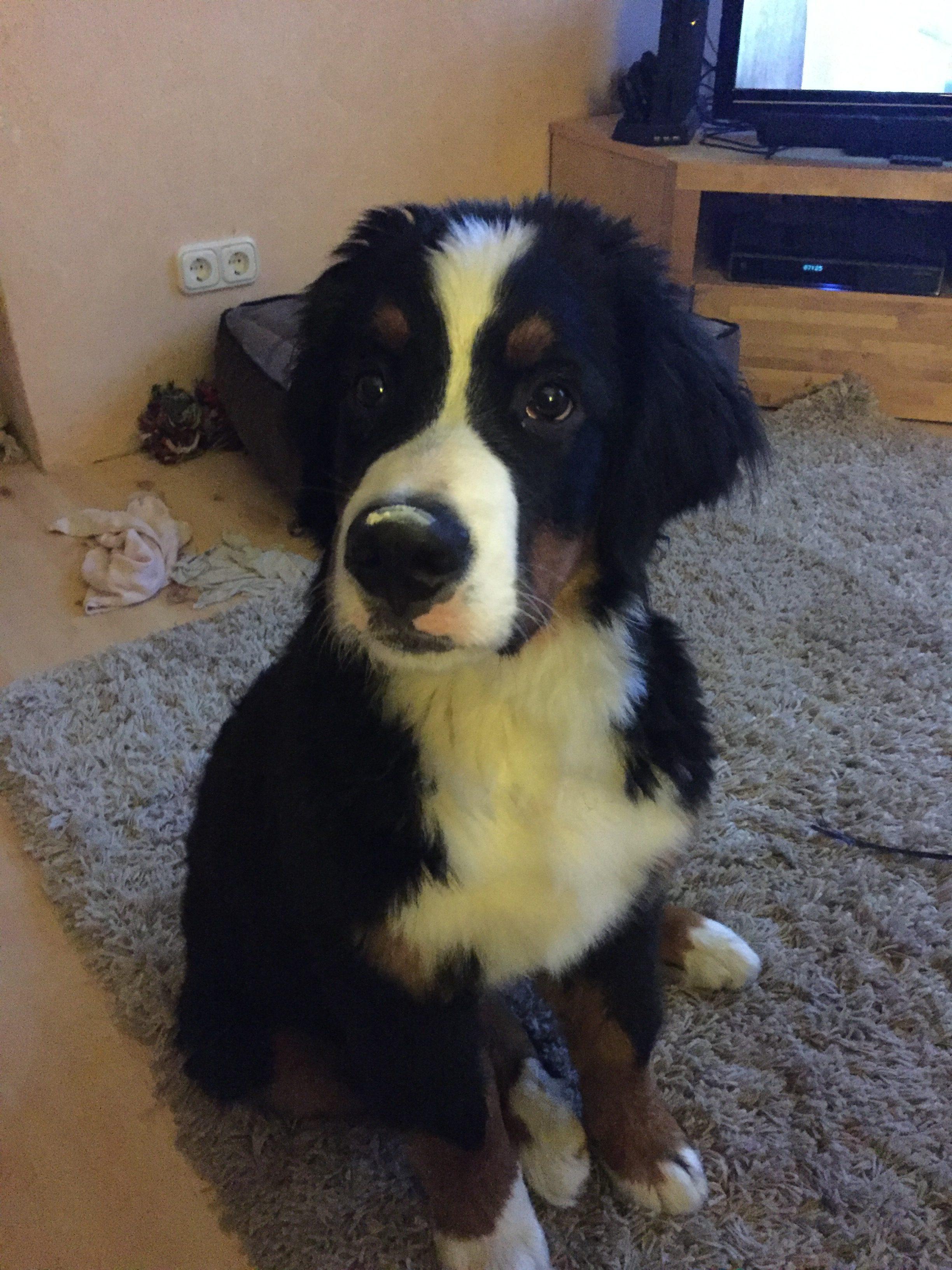12 Wochen alter Berner Sennenhund