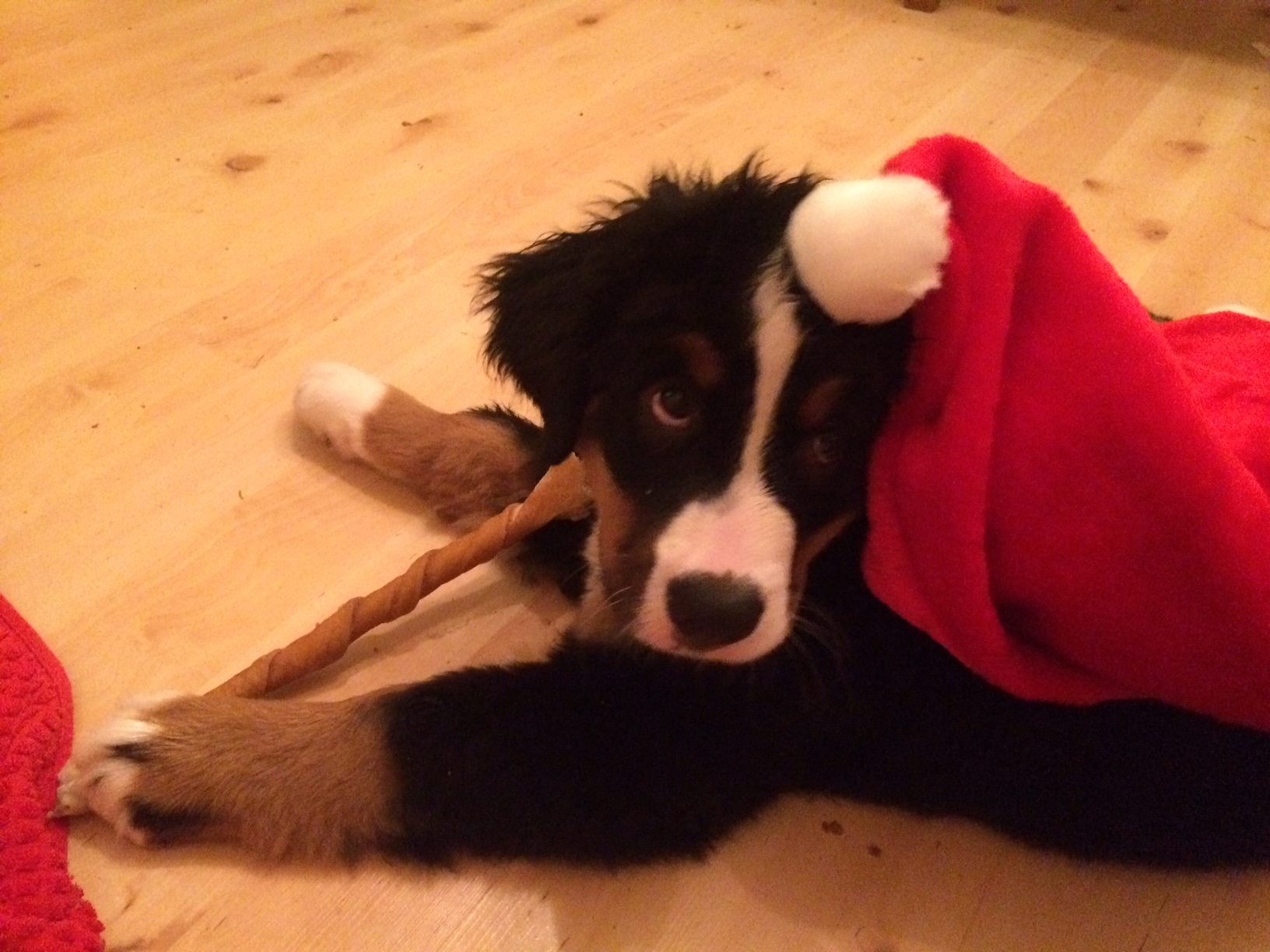 10 Wochen alter Berner Sennenhund mit Nikolausmütze und Kaustange